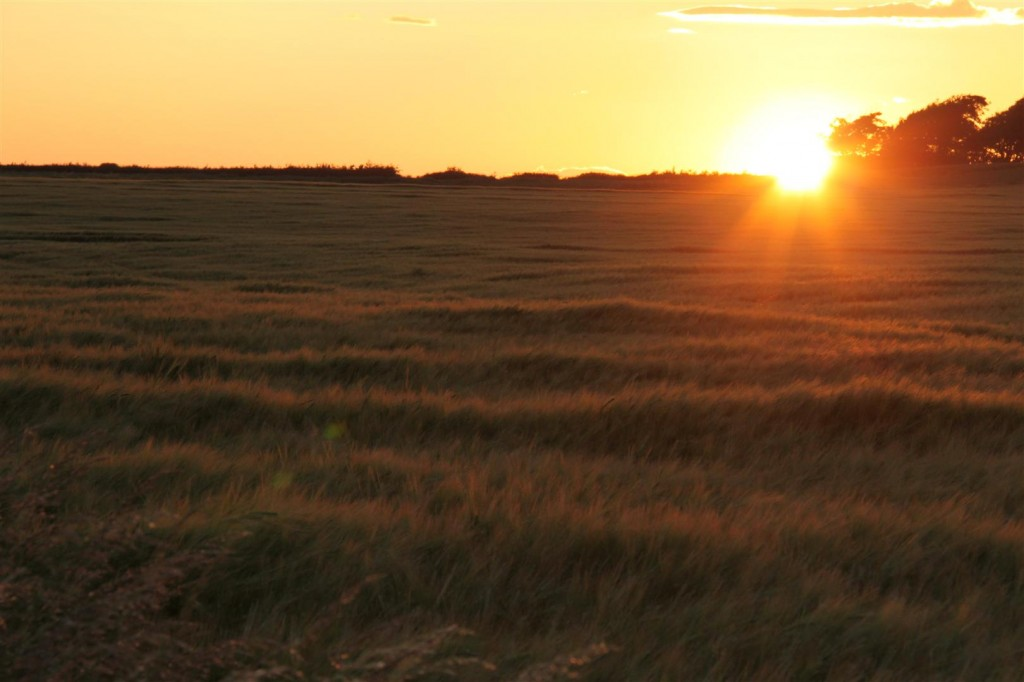 Barley field at sunset, Gullane, East Lothian