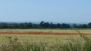 Summer Poppies Pencaitland & Tranent